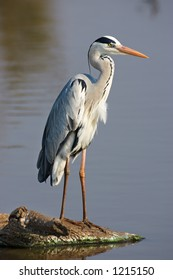 Grey Heron : Ardea Cinerea : South Africa