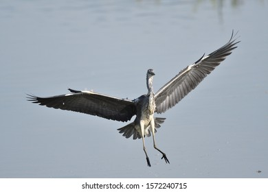 The Grey Heron (Ardea cinerea) or airón is a species of bird of the Ardeidae family of Eurasia and Africa. At the time of landing and with wings wide open.