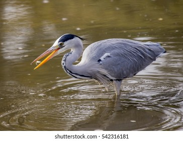 Grey Heron (Ardea cinerea) spotted outdoors in Osaka, Japan