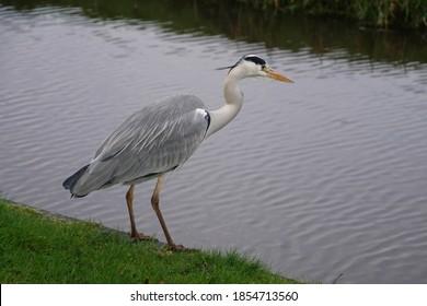 Grey Heron ( Ardea cinerea) stalking the canals of Zaanse Schans, Netherlands
