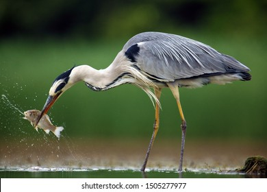 The grey heron (Ardea cinerea) standing and fishing in the water. Big heron with fish with green backround. Heron hunting, water drops dripping from fish.