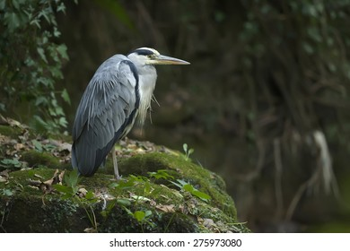 Grey Heron, ardea cinerea, standing on a rock by the riverside