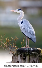 Grey Heron (ardea cinerea) standing on a wooden post on the River Thames, London, England, UK