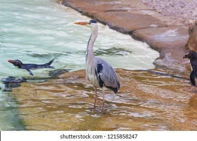 Grey Heron (Ardea cinerea) wading in water
