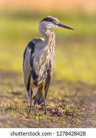 Grey heron (Ardea cinerea) wading bird looking for food in wetland in Flanders Belgium