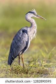 Grey heron (Ardea cinerea) wading bird looking for food with raised crest in wetland in Flanders Belgium