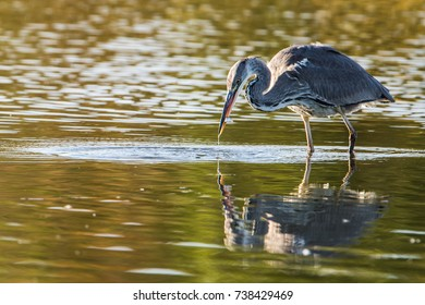 The Grey Heron (Ardea cinerea) waits patiently, stock-still, and suddenly full action for prey and catch a fish in the marsh, Uppland, Sweden