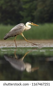 The grey heron (Ardea cinerea) is walking in the shallow water of pond and looking for some fish with reflection and green background