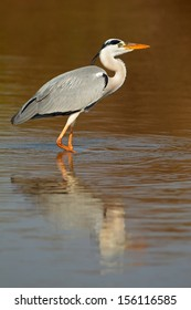 Grey heron (Ardea cinerea) in water with reflection, South Africa