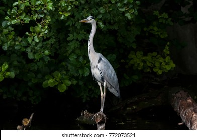 A grey heron (Ardea cinerea) in the wild. The grey heron ist  a tall and long-legged predatory bird. Herons (Ardeidae) are native in most areas of our planet.