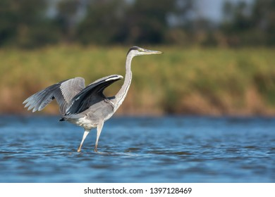 Grey heron (Ardea cinerea). Wildlife, Ukraine