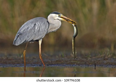 Grey Heron capturing an eel