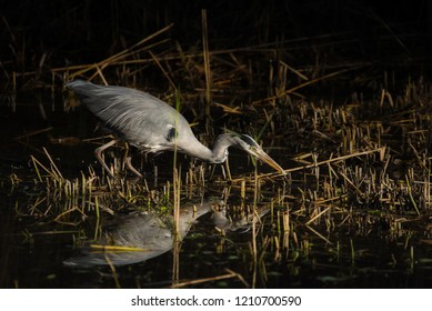 Grey Heron catching a small fish at Forest Farm Nature Reserve, Cardiff.