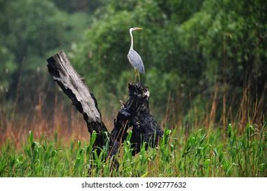 Grey heron in Danube Delta