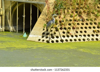 Grey heron at the edge of an algal bloom-infested pond, next to a drain pipe.
