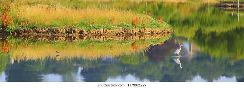 Grey heron fishing in a lake of Seaton Wetlands, Devon