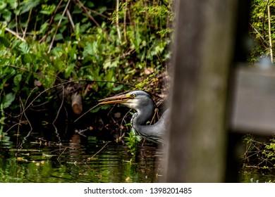 grey heron fishing in a lke