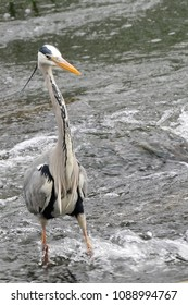 grey heron fishing in the river stour dorset