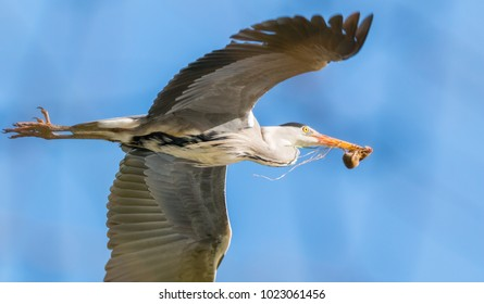 grey heron in flight with a mouse in his beak close up