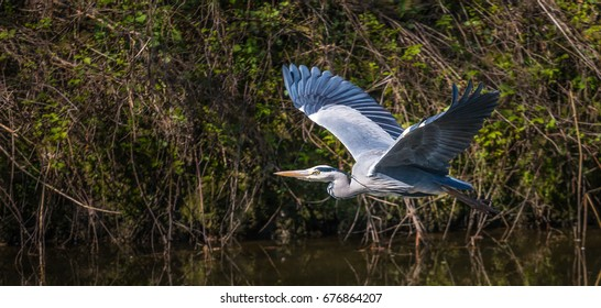 grey heron flying with his wings up