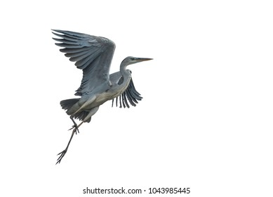 Grey heron flying isolated on white background