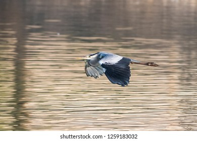 Grey heron flying over the shallow shore  of Kabini river.