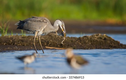 The Grey Heron and the Frog