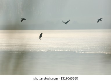 Grey heron and geese