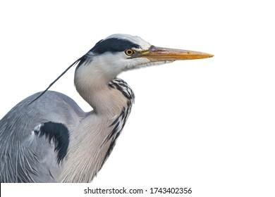 Grey heron / gray heron (Ardea cinerea), close-up portrait against white background