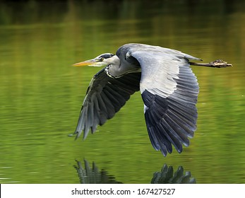 Grey Heron, gray heron, Graureiher, Germany