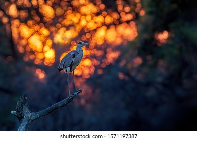 Grey heron, huge water bird perched on trunk against abstract orange circle bokeh background. Late evening moody photo, african wildlife, photography in Mana Pools, Zimbabwe.