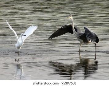 Grey Heron and Little Egret squabbling over food