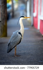 grey heron on city street at early morning