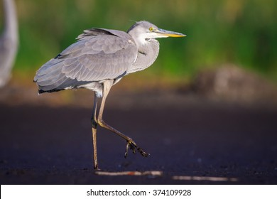 The Grey Heron on a coast