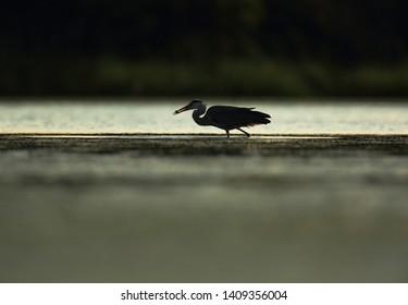 Grey heron on lake at evening