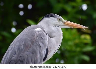 Grey heron on maldives