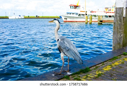 Grey heron on river pier. Grey heron follows with his eyes. Grey heron