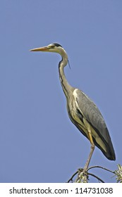 Grey heron on a russian olive tree