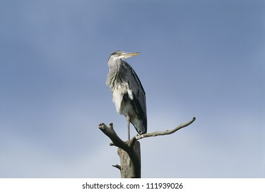 Grey heron on top of the tree, close-up