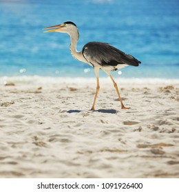 Grey Heron on the tropical beach. White sand and crystal-blue sea. Ocean water nature, beach relax. Summer sea vacation. Bird on Maldives beach background. Sunrise