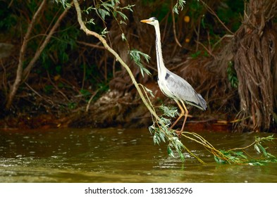 Grey heron on a willow branch above the water with stretched neck ready to fly in Danube Delta