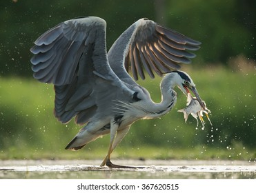 Grey heron with open wings, fishing, with fish in the beak, water drops in green background, Hungary, Europe