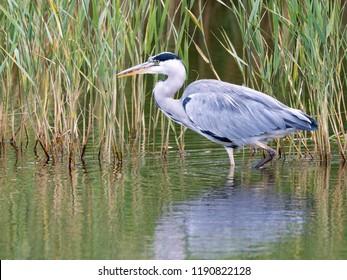 Grey heron in the reeds
