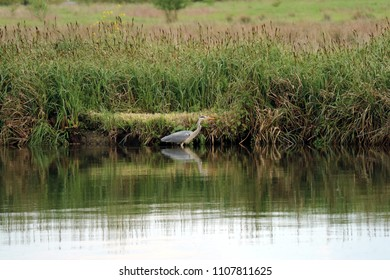 Grey heron in river with reeds in the background