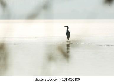 Grey heron silhoouette