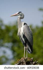 Grey heron sitting on a tree