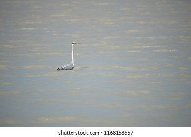grey heron standing in the Neusiedler Lake foraging for food - Burgenland Austria