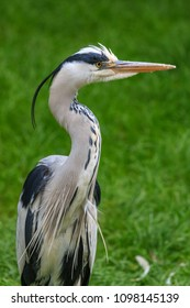Grey heron standing on the river bank