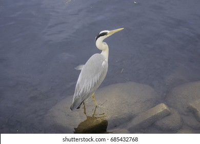 Grey heron standing on a rock in the water