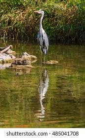 Grey heron standing on the stone in the river